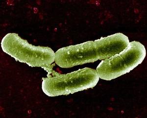 Lactobacillus_sakei